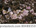 樹枝上盛開的櫻花 80489350