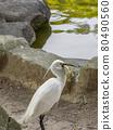 一隻正在吃魚的大白鷺 80490560