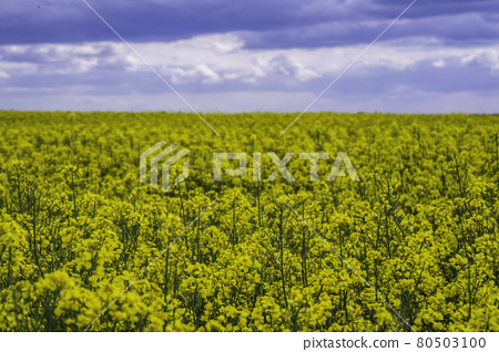 Yellow Rapeseed Field Against Blue Sky Background 80503100