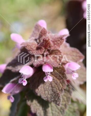 히메오도리코소우 꽃 80605490