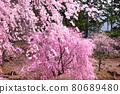 spring, cherry blossom, cherry tree 80689480