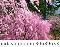 cherry blossom, cherry tree, spring 80689653