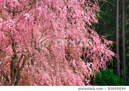 Weeping cherry blossoms in full bloom in the unexplored region of Takami no Sato 80689894