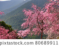 cherry blossom, cherry tree, spring 80689911