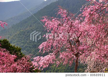 Weeping cherry blossoms in full bloom in the unexplored region of Takami no Sato 80689911
