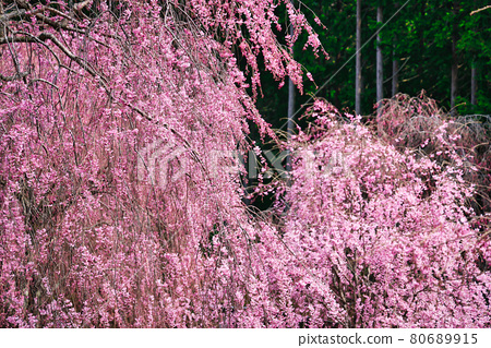 Weeping cherry blossoms in full bloom in the unexplored region of Takami no Sato 80689915