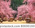 spring, cherry blossom, cherry tree 80690160