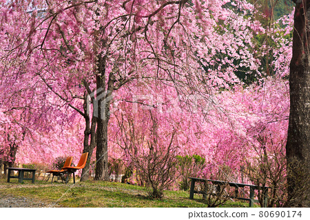 Weeping cherry blossoms in full bloom in the unexplored region of Takami no Sato 80690174