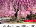 spring, cherry blossom, cherry tree 80690185