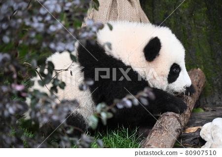 Baby panda 80907510