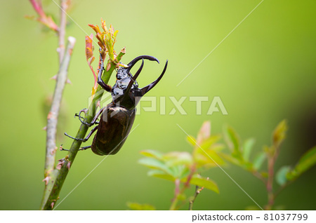 Three-horned beetle on a natural green background 81037799