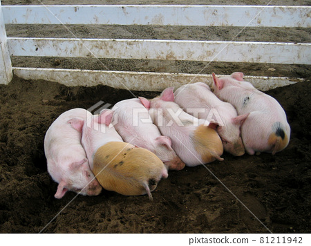 piggy, piglet, pretty 81211942