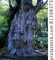 조몬 삼나무 81398373