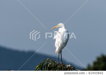 Egret resting on a cherry tree 81443602