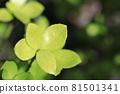 나뭇잎 81501341