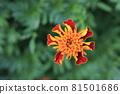 꽃 81501686