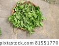 採摘葉子染鮮靛藍葉 81551770