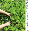 採摘葉子染鮮靛藍葉 81551776