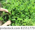 採摘葉子染鮮靛藍葉 81551779