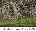 cherry blossom, cherry tree, weeping cherry 81721596
