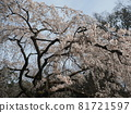 cherry blossom, cherry tree, weeping cherry 81721597