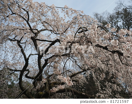 Early blooming cherry blossoms at Kyoto Gyoen 81721597