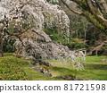 cherry blossom, cherry tree, weeping cherry 81721598