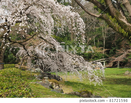 Early blooming cherry blossoms at Kyoto Gyoen 81721598