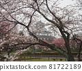 nagahama, cherry blossom, cherry tree 81722189