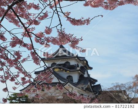 nagahama, cherry blossom, cherry tree 81722192