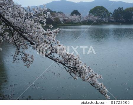 kyoto, cherry blossom, cherry tree 81722506