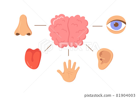 Brain and human senses organ set. Nose, ear, hand, tongue, eye. Sensory organs. See, hear, feel, smell and taste. Elements for an educational manual. Vecor illustrations isolated on white background 81904003