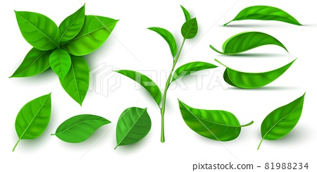 Realistic 3d fresh tea green leaves and branches. Flying tree leaf. Tea or mint plant elements. Ecology, nature and vegan symbol vector set 81988234