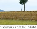 Hasakake rice harvesting, natural drying, Akita prefecture agriculture 82024464
