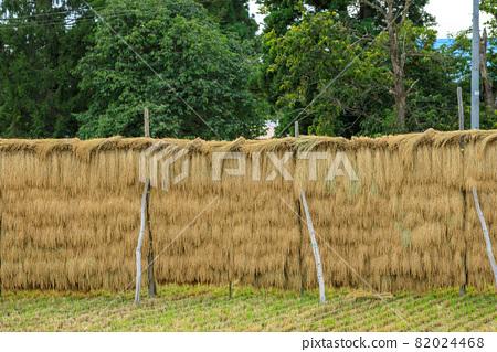 Hasakake rice harvesting, natural drying, Akita prefecture agriculture 82024468
