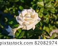 愛知名古屋的秋天:東山動植物園的美麗玫瑰 82082974