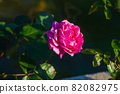愛知名古屋的秋天:東山動植物園的美麗玫瑰 82082975