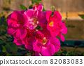 愛知名古屋的秋天:東山動植物園的美麗玫瑰 82083083