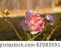 愛知名古屋的秋天:東山動植物園的美麗玫瑰 82083091