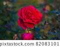 愛知名古屋的秋天:東山動植物園的美麗玫瑰 82083101
