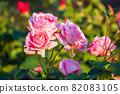 愛知名古屋的秋天:東山動植物園的美麗玫瑰 82083105
