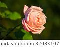 愛知名古屋的秋天:東山動植物園的美麗玫瑰 82083107