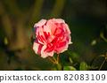 愛知名古屋的秋天:東山動植物園的美麗玫瑰 82083109