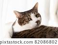 貓轉身 Kijitora 貓 82086802