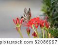 在簇狀孤挺花停止的Swallowtail蝴蝶 82086997