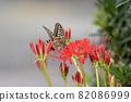 在簇狀孤挺花停止的Swallowtail蝴蝶 82086999