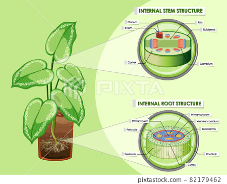 Diagram showing stem and root structure 82179462