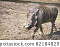 African Warthog walking 82184829