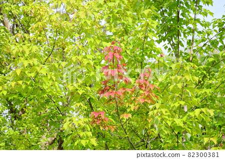 물이 토우카에데 잎 82300381