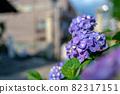 Hydrangea blooming at a shrine in Hakusan, Bunkyo-ku, Tokyo 82317151